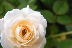 Frô (Dudu.Maroja) Tags: brazil flower nature rose brasil natureza flor rosa eduardo pará dudu belém maroja