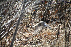 snowshoe hare (manywinters) Tags: alaska snowshoe spring hare camouflaged