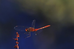 Wandering Pennant :  Almost There !!! (Clement Tang ** Busy **) Tags: morning summer male nature insect inflight dragonfly wildlife australia victoria closetonature concordians macrodiplaxcora candlebarkpark wanderingpennant