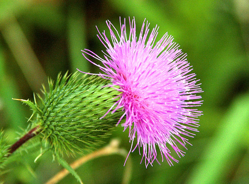 Pink spiky thingy is thistle in bloom a photo on flickriver pink spiky thingy is thistle in bloom mightylinksfo