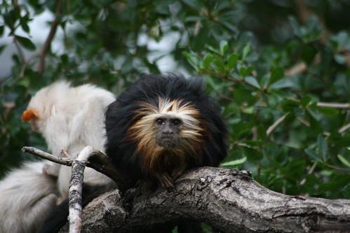 Black and Ginger Monkey