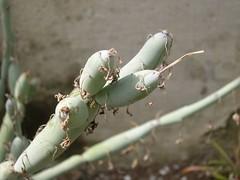 cactus 105 (blum1) Tags: cactus fiori piante ortobotanico