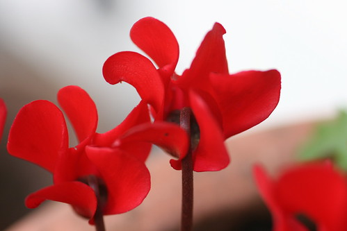 Scarlet Fuschia