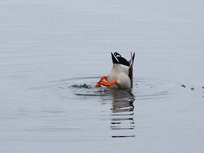 Duck butt