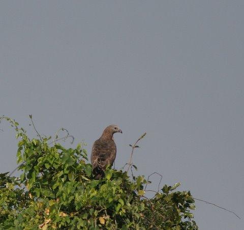 oriental honey buzzard 091107