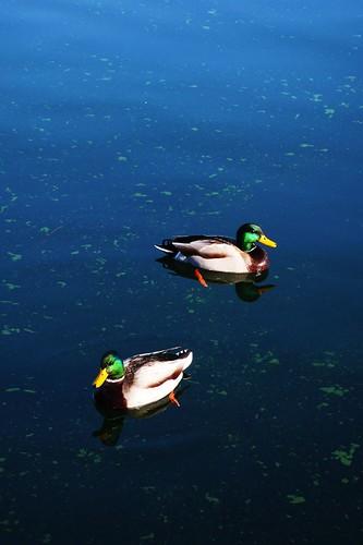 湖畔小鴨鴨