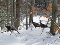 DSC04351 (batwrangler) Tags: birds wildlife nh turkeys wildturkeys nhwildlife