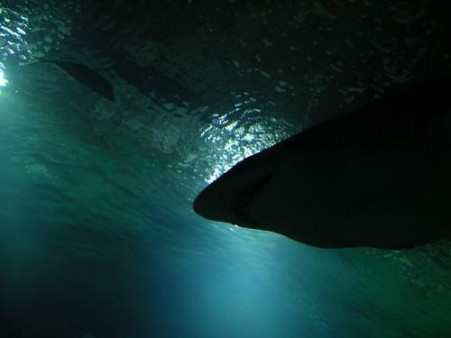 tiburoncete2
