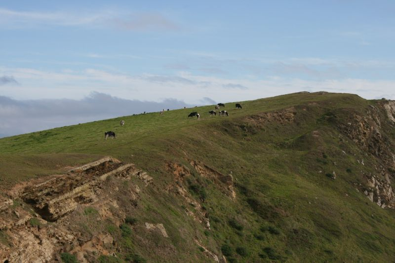 Cows on Cliff
