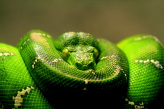 """I call this beauty (5)"" (mohammadali) Tags: pet green animal vancouver zoo python 2007    petexpo moreliaviridis  icallthisbeauty"