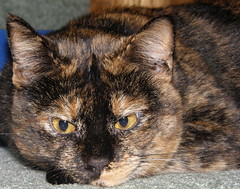Perky Close-up (K. Horn) Tags: pet animal cat tortoiseshell tortie perk bestofcats flickrelite