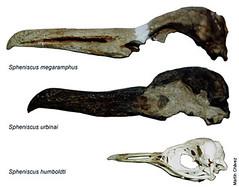 Spheniscus megaramphus & Spheniscus urbinai