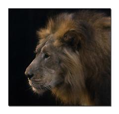 (Lord Ivan) Tags: japan cat zoo tokyo king ueno lion       specanimal mywinners superbmasterpiece diamondclassphotographer photofaceoffwinner canonef70200f28isl ivanshusky canoneos1ds2