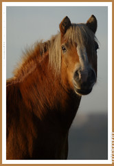 AM light (JeromesPOV) Tags: morning portrait horse eye netherlands smile misty fog caballo cheval nose am rotterdam eyecontact dof sweet dusk nederland pasture morgen cavallo cavalo pferd weiland 2007 hevonen morningsun amlight morningfog mistymorning 200712 20071223 appearstobesmiling