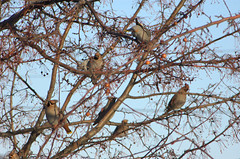 waxwings3 (reyfox) Tags: winter flock boise cedar bohemian waxwings