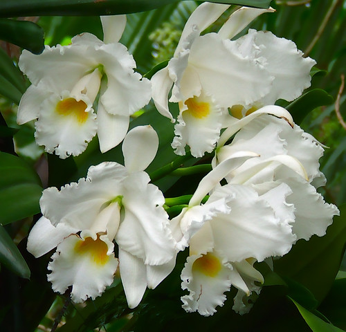 Missouri Botanical Gardens, in Saint Louis, Missouri - white flowers 5