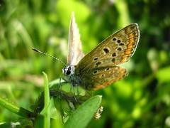 Farfalla (Giuseppe Sortino) Tags: macro nature animal butterfly flickr natura olympus diamond animali farfalla impressedbeauty diamondclassphotographer giuseppesortino sortinogiuseppe