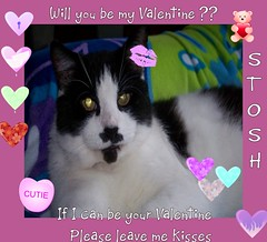 Can Stosh be your Valentine (Yvonne in Willowick Ohio) Tags: cats cute fuzzy adorable fluffy kisses valentines meow loveable cutefaces cuteeyes catkisses happpyvalentinesday