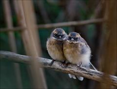 Baby Grey Fantails (aaardvaark) Tags: australia canberra juvenile act fsp dy fyshwick greyfantail rhipidurafuliginosa 20080208246~grfajuvdy dependentyoung