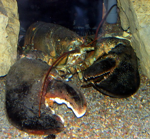 30 year old lobster