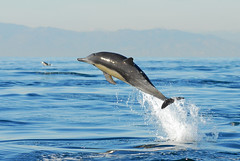 Delight in Flight (fotolen) Tags: ocean life sea nature mammal marine pacific dolphin common leap breach dolphinpcc