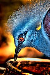 Blue Bird (Kenji Images) Tags: blue bird photoshop beak feathers hdr edit kenjiimages wwwpicscantalkblogspotcom picscantalk
