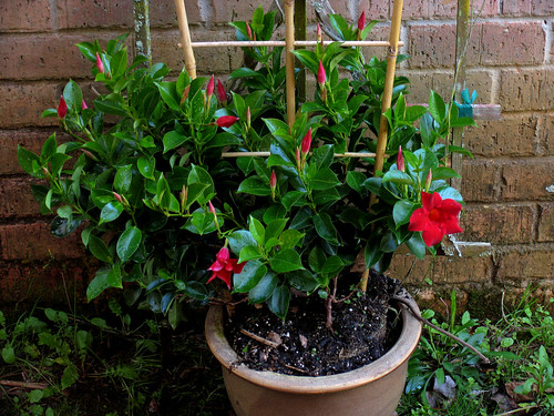 CrabAppleLane Mandevilla - March 9, 2008