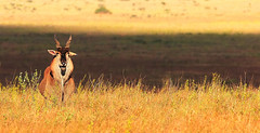 Wild Lands of Light and Shade (| HD |) Tags: africa light wild 20d animal canon mammal kenya wildlife stripe safari shade hd darwish hamad wwwhamaddarwishcom