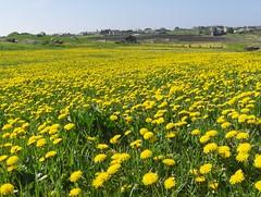 Dandelions - Lvetann (flips99) Tags: flowers field yellow norway landscape spring mark may gul eng dandelions vr karmy lvetann naturesfinest bigmomma anawesomeshot aplusphoto unature ysplix thechallengefactory