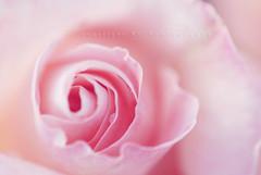 this weekend went in a blur (Kiwi_GaL) Tags: pink blur rose bravo swirls excellence flowerotica abigfave colorphotoaward macroflowerlovers theworldinpink beautifulsecrets explore345onmay132008