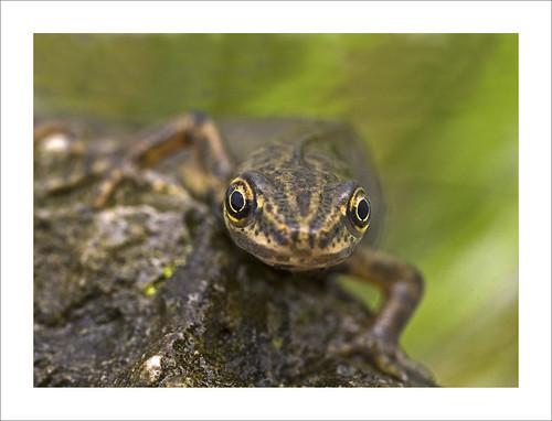 Common Newt Triturus vulgaris Kenley Surrey