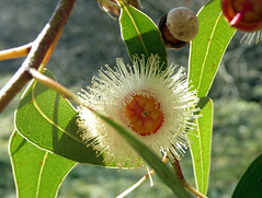 Eucalyptus cosmophylla F.Muell. 1855 (MYRTACEAE) (helicongus) Tags: eucalyptuscosmophylla eucalyptus myrtaceae jardínbotánicodeiturraran spain