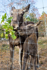 Elchkuh mit Kalb / Moose cow with calw (photobeyDE) Tags: elch älg älgpark malilla kalmarlän schweden sweden sverige outdoor natur nature landschaft landscape hashtag photobey jwshutterbugs jwphotography resourcemag sonyimages sonyalphasclub sony alpha alphaddicted slt a58 1650f28