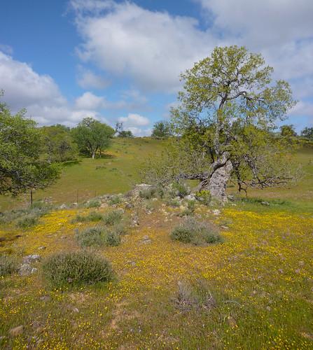 goldfields n oaks