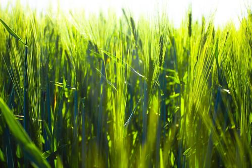 フリー写真素材, 花・植物, 田畑・農場, トウモロコシ, グリーン,