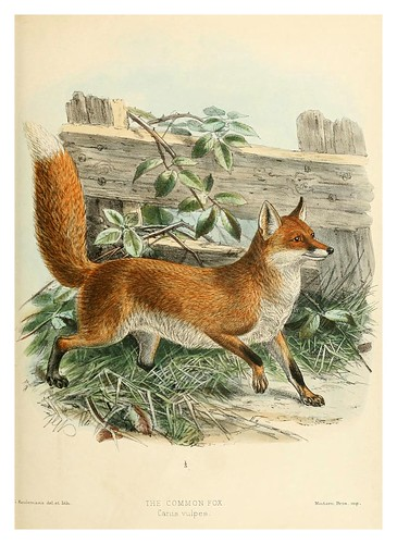 018-Zorro comun-Dogs jackals wolves and foxes…1890- J.G. Kulemans