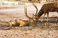 Man - to - Man (Kals Pics) Tags: wild male animal nikon wildlife deer antlers karnataka coorg nisargadhama d40 spotteddeer 70300mmvr kalspics chittaldeer