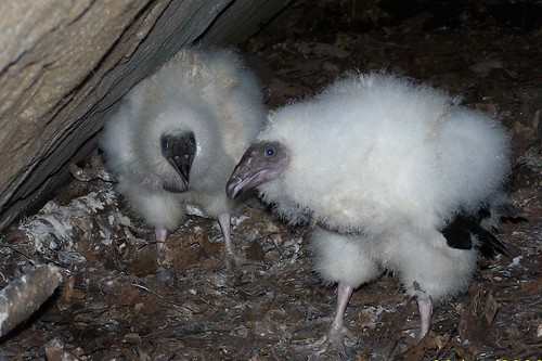Turkey Vulture Chicks