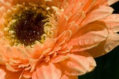 IMG_4846 (P Young) Tags: flowers plant flower macro nature australia adelaide paulyoung fantasticflower diamondclassphotographer flickrdiamond flowerwatcher pyoung