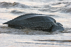 Leatherback sea turtle (~~Steph~~) Tags: ocean sea wild beach southamerica animal america nest turtle reptile wildlife tired return species endangered herp endangeredspecies guyane maroni leatherback outremer oversea frenchguiana leatherbackseaturtle guiana dermochelys leatherbackturtle dermochelyscoriacea awalayalimapo hattes awala yalimapo coriacea hattesbeach
