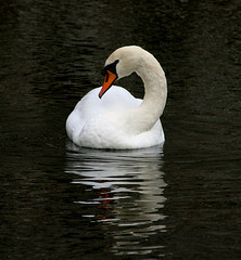 Don't I look Marvellous (torimages) Tags: uk nature swan wells palace sd bishops moat allrightsreserved bishopspalace donotusewithoutwrittenconsent copyrighttorimages