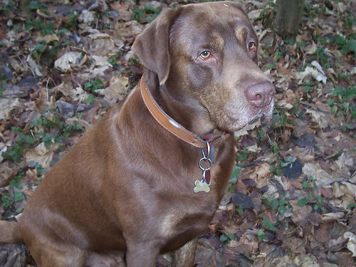 chocolate labrador retriever photo - Freki