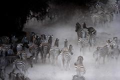Zebras - Boteti River