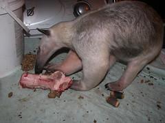 Pua gets a beef rib