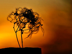 Old Man's Beard on a golden evening. (algo) Tags: sunset wild topv111 photography gold topf50 bravo topv999 clematis seedhead algo topf100 hairs oldmansbeard 100f omb magicdonkey 50f passionphotography abigfave 200750plusfaves