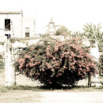 Red bush thumbnail