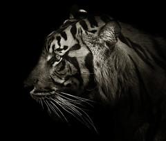 Panthera tigris sumatre (zeissizm) Tags: bw eye 20d monochrome animal eos tiger tigris vita panthera sumatre