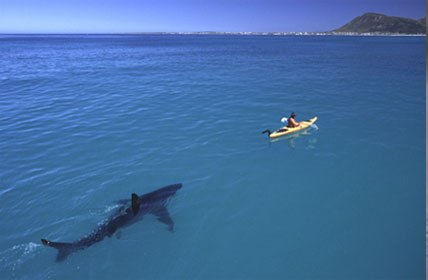 Kayak and great white shark