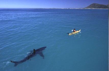 Kayak and great white shark