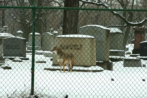 Coyote 2